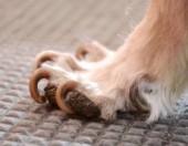 Вросшие когти на лапе у собаки