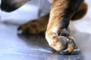 Грыжа межпозвоночного диска у собак симптомы